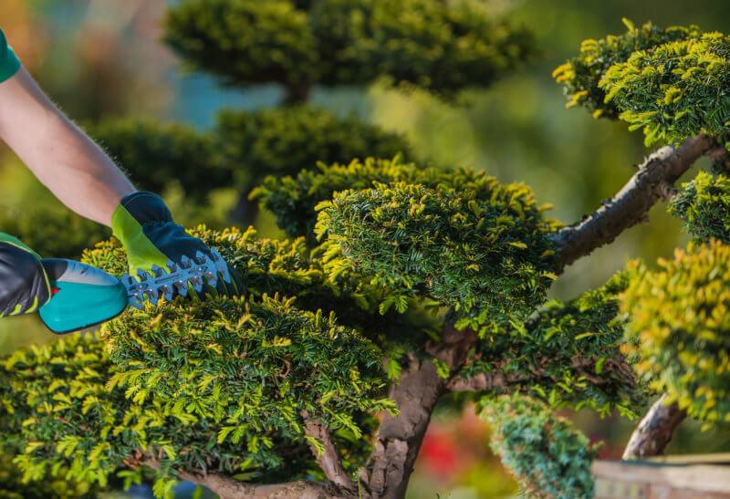 松の木を機械を使用して剪定している写真